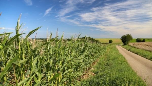 Ag Bag corn crops