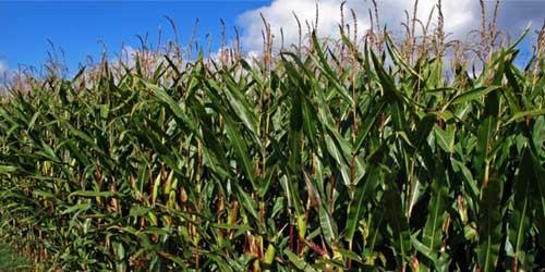 Ag-Bag Corn Field